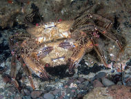 Crab Mating Behaviour