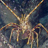 European Spiny Lobster - Palinurus elephas