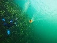 A wall of Kelp off Skye