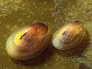 Blue-rayed Limpet - Helcion pellucidum