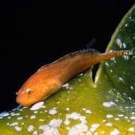 Montagu's Sea Snail  --  Liparis montagui