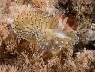 Nudibranch - Janolus cristatus