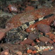 Pogge or Hooknose - Agonus cataphractas