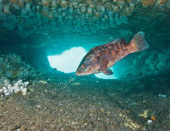 Ballan Wrasse, Cathedral, St. Abbs