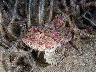 Short-spined Sea Scorpion Myoxocephalus scorpius