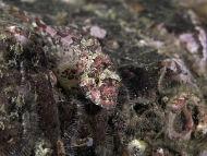 Longspined Sea Scorpion - Taurulus bubalis