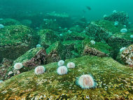 Common Sea Urchin - Echinus esculentus