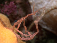 Skeleton Shrimps mating (?) - Caprella linearis