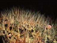 Common Brittlestar - Ophiothrix fragilis