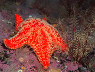 Red Cushion Star - Porania pulvillus
