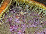 Seven-armed Starfish feeding - Luidia ciliaris