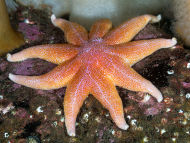 Purple Sunstar - Solaster endeca