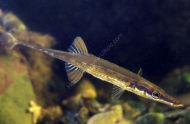 Sea Stickleback - Spinachia spinachia