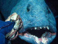 Wolf Fish being fed