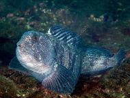 Maturing Wolf Fish