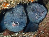 Wolf Fish pair
