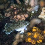 Angler Fish on North Sea reef