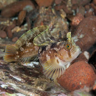 Yarrell's Blenny ----- Chirolophis ascani