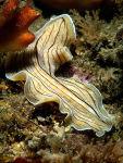Candystripe Flatworm  Prosthecereus vittatus