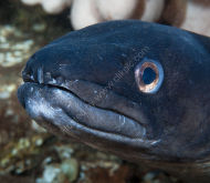 Conger Eel -- or -- Conger conger