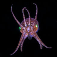 Little Cuttle - Sepiola atlantica