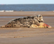Grey Seal - cow with pup