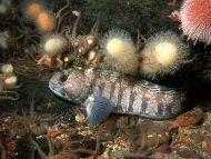 Sub-adult Wolf Fish