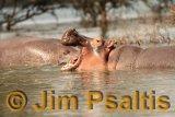 Hippo Kenya