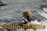 Salmon_Catch_Brooks_Falls
