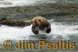 Chasing_Salmon_Brooks_Falls