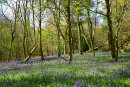 Coldwaltham Bluebells