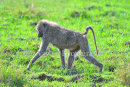 Baboon In Morning Light