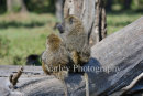 Baboons Sitting On Tree