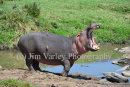 Displaying Hippo