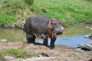 Hippo Beside River