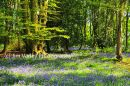 Bluebell Wood, Adversane