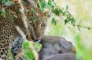 Olive Feeding