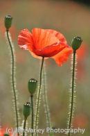 Poppy near Shoreham, Sussex