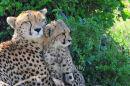 Cheetah Mother And Cub