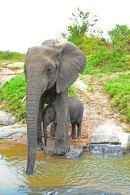 Elephant and Calf