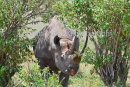 Male Black Rhino