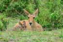 Reedbuck and Fawn