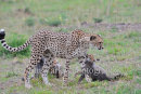 Cheetah Cubs With Mum
