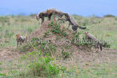 Cheetah Cubs On Mound