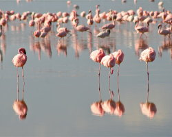 Flamingos at Lake Nakuru 0251
