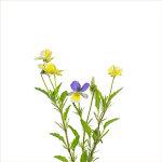 Wild Pansy | Viola tricolor ssp. tricolor