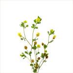 Hop Trefoil | Trifolium campestre