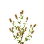 Hare's-foot Clover | Trifolium arvense