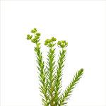Sea Spurge | Euphorbia paralias