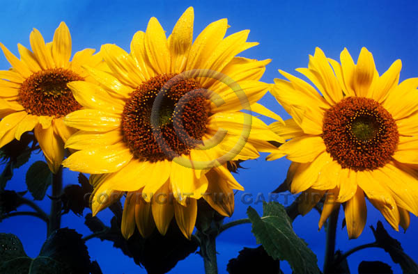 3 sunflowers against blue